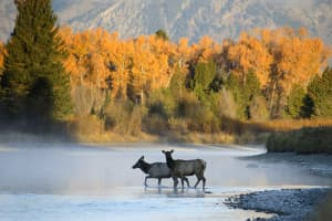 Watching these elk for days helped Mark Gocke anticipate when and where they would cross the Snake River and allowed him to set up for a shot with a nice background. (courtesy Mark Gocke)