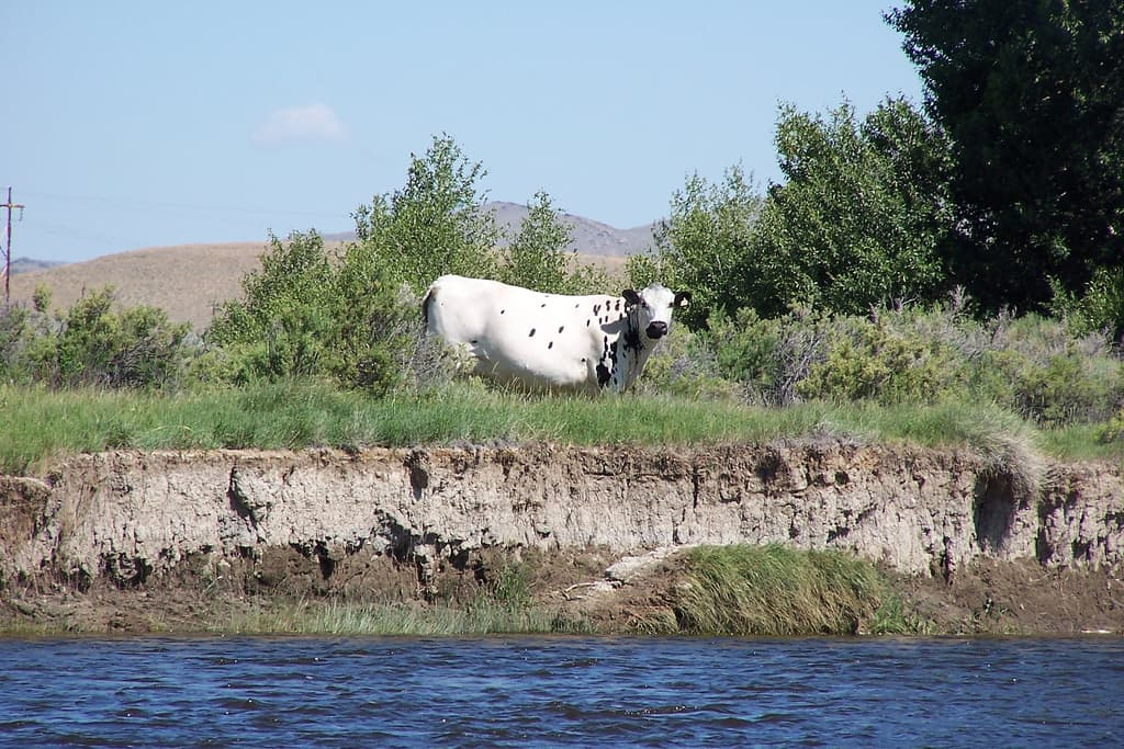 A cow grazes near a stream in Wyoming. WWP says public lands grazing raises e coli levels above standards set under the Clean Water Act. (Flickr Creative Commons/Steve Stevens)