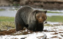 This grizzly bear was spotted near Obsidian Creek Yellowstone National Park. Tribal coalition members oppose delisting the grizzly from the list of animals protected under the Endangered Species Act because they fear that the bears, which are of spiritual and cultural importance to the tribes, would be targeted by state-sanctioned trophy hunts. (courtesy Yellowstone National Park)