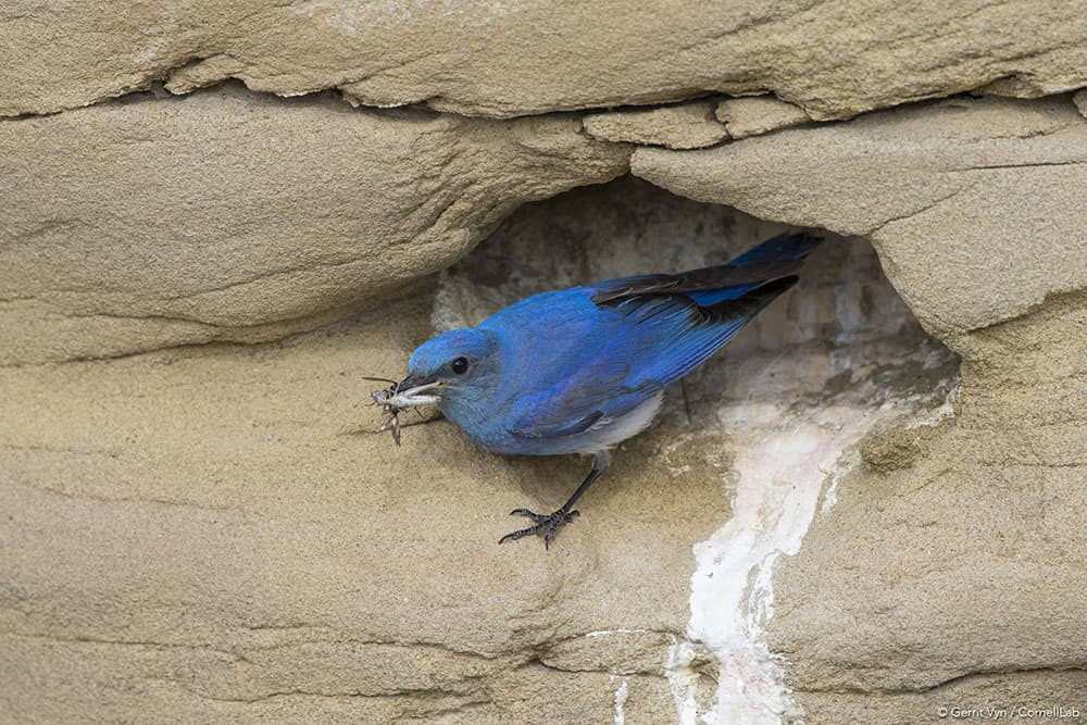 An adult male Mountain Bluebird (Sialia currucoides) at nest cavity with prey inSublette County, Wyoming in June. The sagebrush ecosystem and species like the mountain bluebird that call it home are important characters in a new film about sage grouse. (Courtesy Gerrit Vyn)
