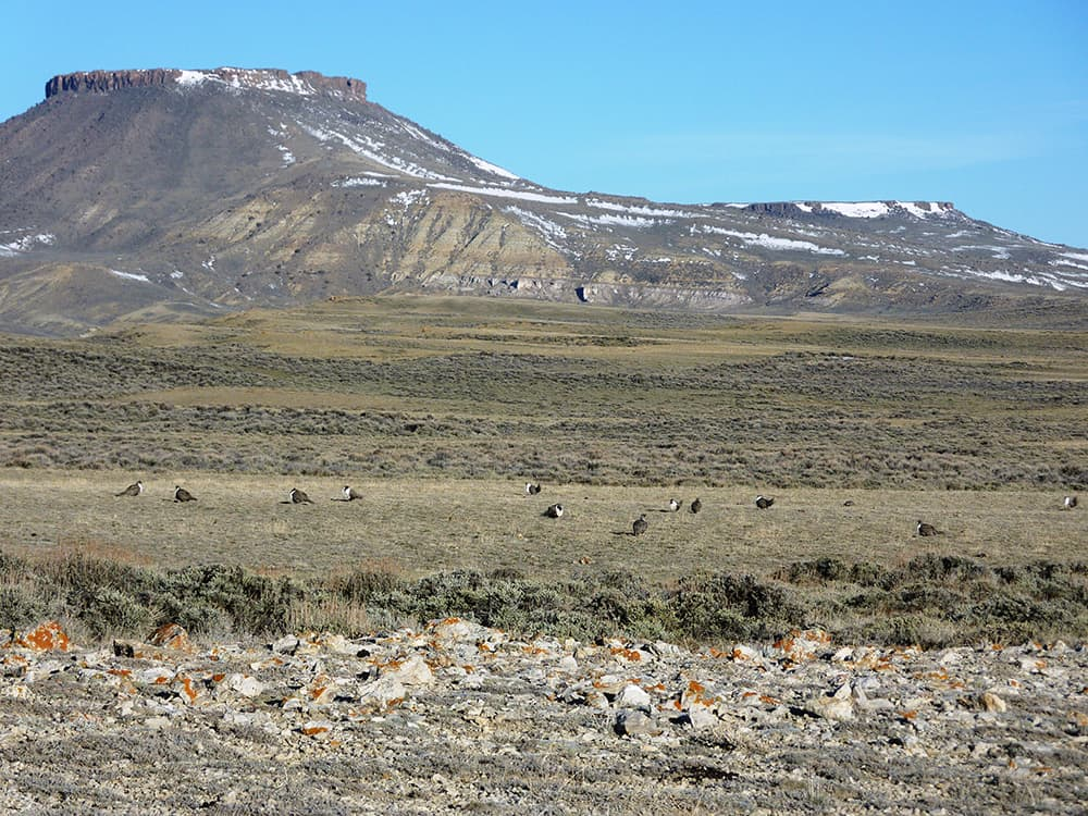 "These sage grouse were observed during a lek count in April 2010, inside a ""core area"" designated habitat in south central Wyoming. North Table Rock is in background. (photo by Mark Bellis/USFWS)"