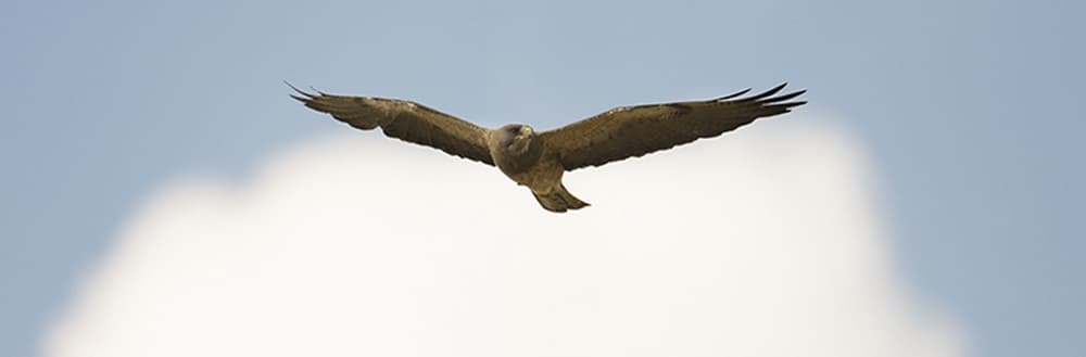 Bighorn Audubon recognizes Ucross as a vital stopover for Swainson's hawks on the way to South America. (photo by Ernesto Scott)