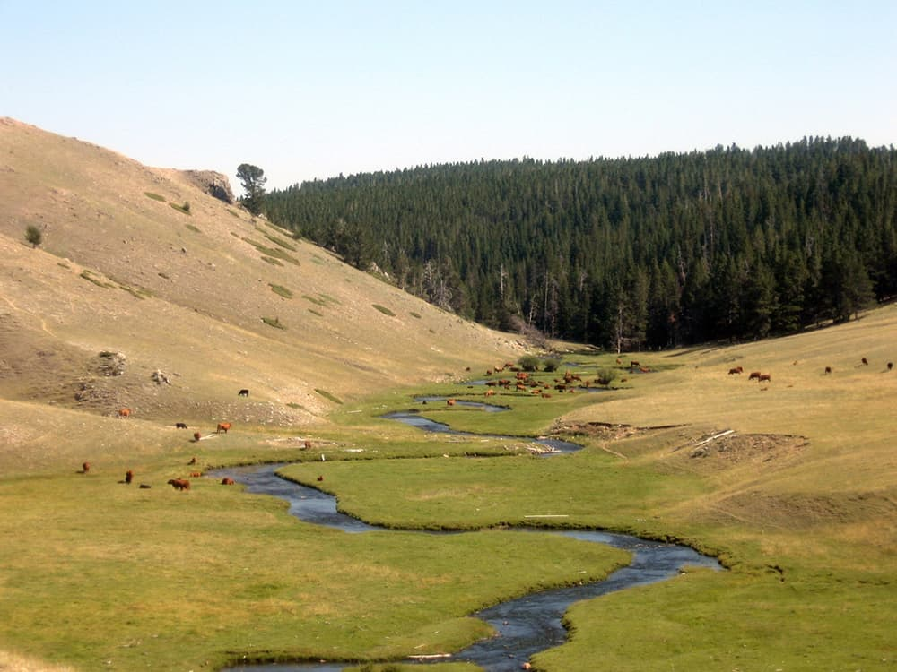 Cows graze on the north fork of the Powder River in the Bighorn National Forest. WWP says the data trespassing bill may require explicit permission from federal agencies to collect data on a case-by-case basis. (Flickr Creative Commons/Mia & Steve Mestdagh)