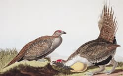 """John J. Audubon's """"Cock of the Plains"""" depicts greater sage grouse in his book """"The Birds of America."""" More than 150 years later, the once ubiquitous bird is deeply troubled, perhaps because, as Audubon observed, it is """"unsuspicious...rarely flies...[and] often runs under the horses of travelers."""" (Library of Congress)"""