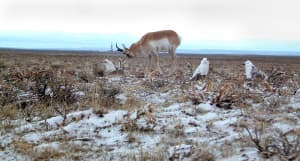 An antelope checks out the paper grouse set-up early one morning at the artificial lek. The dummy grouse also attracted a coyote and mice, which destroyed some of the paper mache. (Wyoming Game and Fish Department)