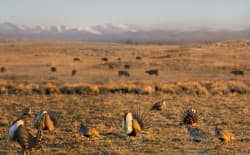 Wyoming is home to the largest portion of the greater sage grouse population, accounting for about 38 percent. Gov. Matt Mead has told the federal government it should change sage grouse protection plans to say grazing does not disturb greater sage grouse habitat and may even help the troubled bird. (photo courtesy of Flickr Creative Commons/USDA-NRCS)