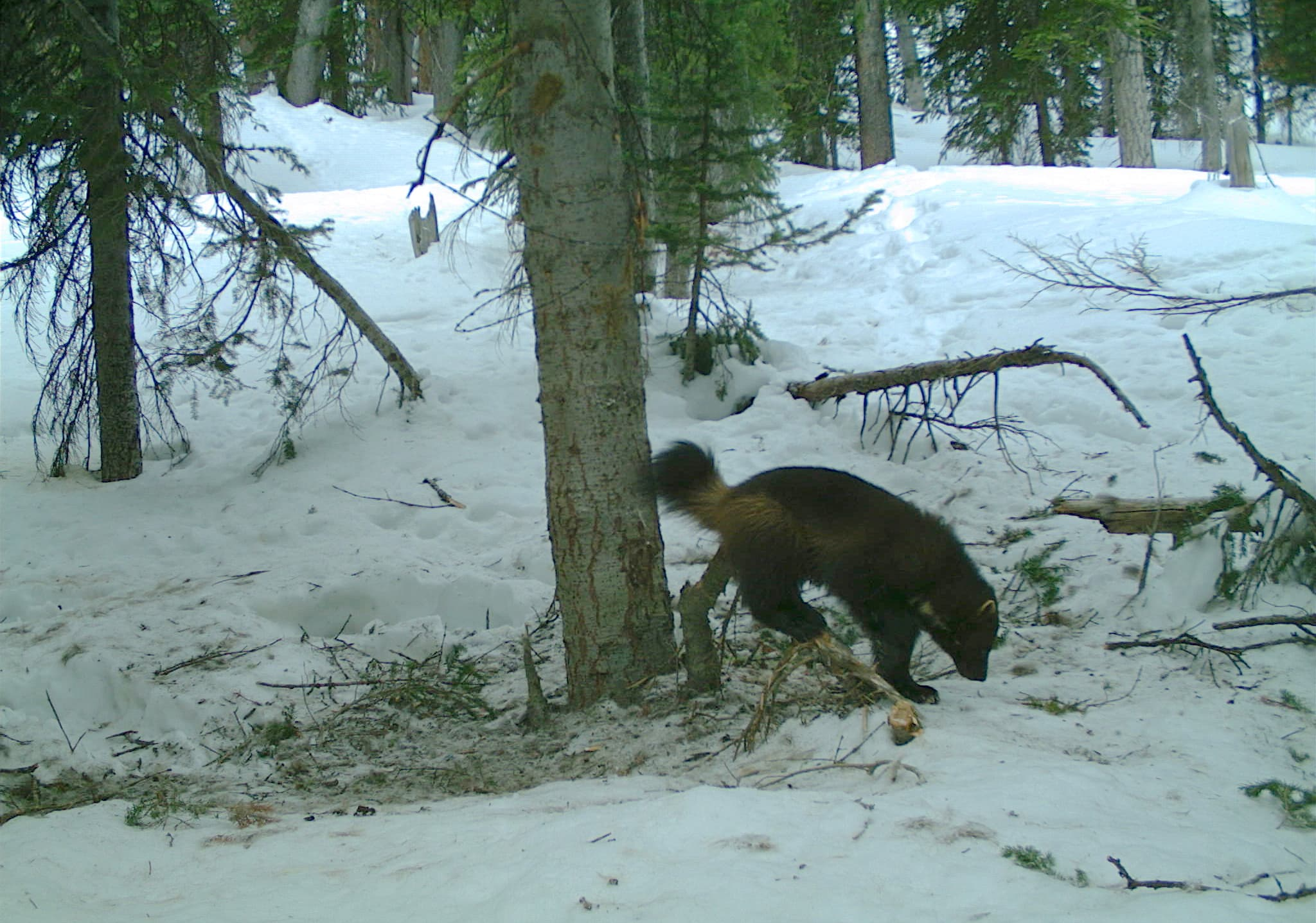 Researchers measure reach of wolverines in Wyoming