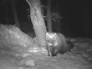 Researchers focus on where female wolverines are located to get the best indication of their range in Wyoming. This wolverine was photographed in the Wind River Mountains. (courtesy Meghan Riley)