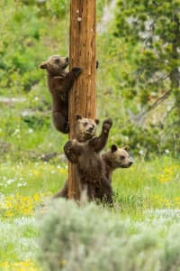 Following their mother's lead, 399's triplets climb and scratch against a utility pole, leaving behind their scent. (Tom Mangelsen)