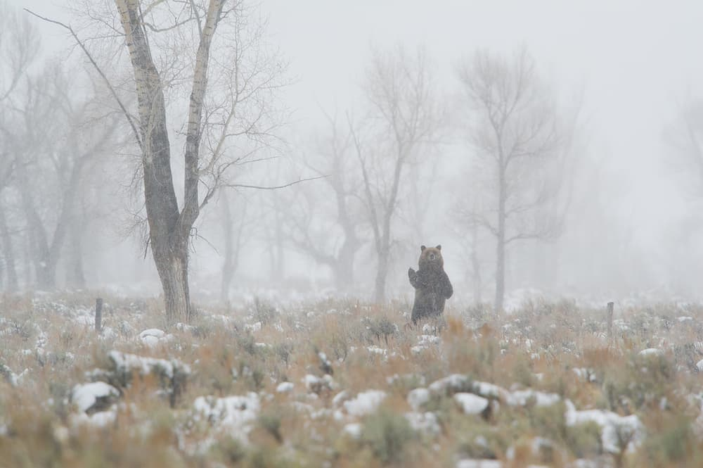 After feasting on gut piles left behind by elk hunters, 610 stands on a frosty autumn morning to assess the panorama around Antelope Flats Road. (Tom Mangelsen)