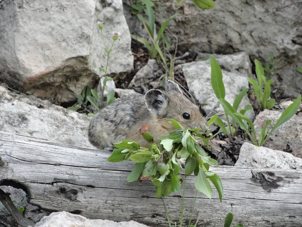 Pikas adapt to changing climate in surprising ways