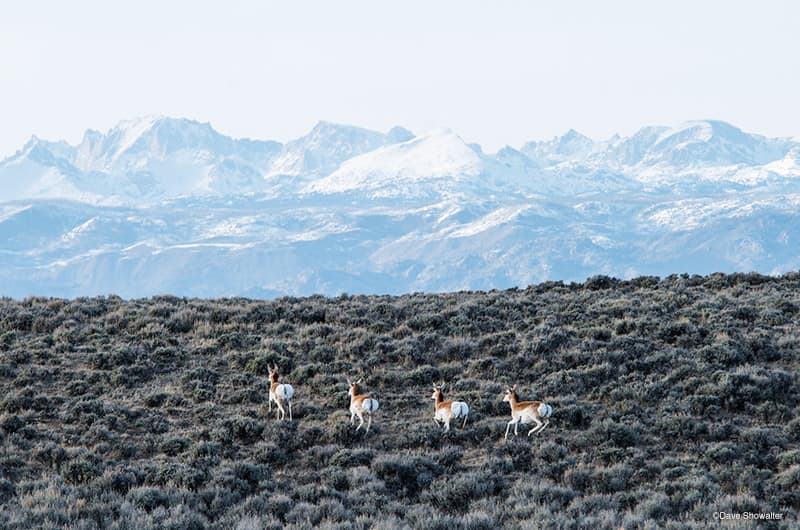 Pronghorn spring across open sage beneath the mighty Wind River Range. Sublette County, Wyoming. (Dave Showalter)