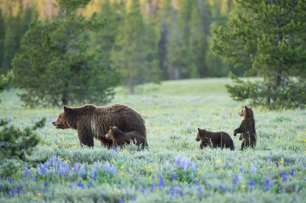 Grand Teton's most famous bear, No. 399