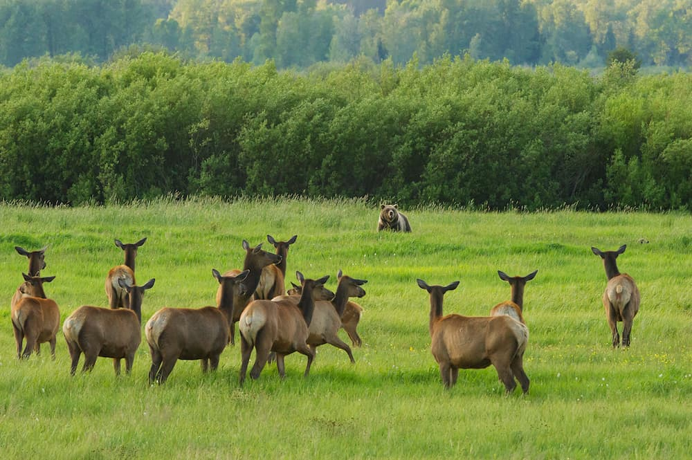 Look who is coming to dinner. At dusk in Willow Flats, cow elk draw closer to 610 and her cubs in order to keep a close eye on their every move. (Tom Mangelsen)