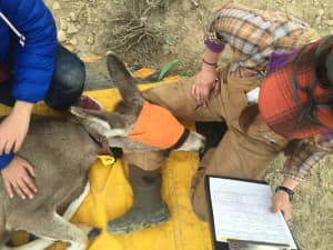 "University of Wyoming researchers collared a mule deer doe they named ""Jet"" with a GPS unit that upload coordinates to a website every few hours. (Wyoming Migration Initiative)"