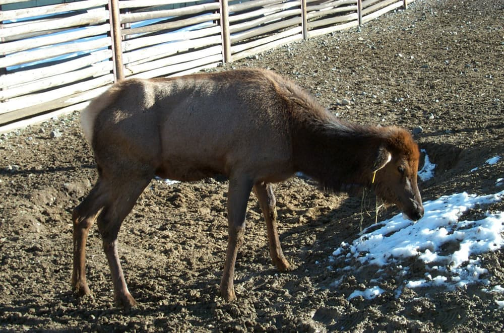Chronic Wasting Disease vaccine fails elk test