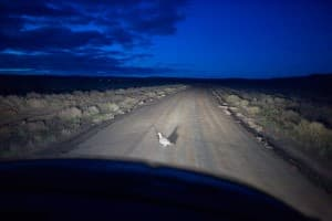 Greater sage grouse, like this one near a gas field, are akin to a deer in the headlights, requiring human benevolance to stay alive. WyoFile readers in 2015 learned of important debates that took place before the U.S. Fish and Wildlife Service said the bird would not be listed as a threatened or endangered species. (Angus M. Thuermer Jr./WyoFile)