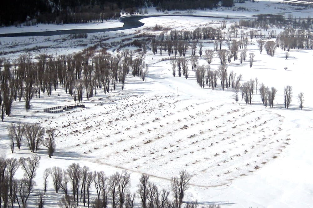 This aerial view shows low-density feeding at the Wyoming Game and Fish Department's feedground in South Park, Jackson Hole. Spreading out elk at feedgrounds is a method Game and Fish would implement to reduce the spread of Chronic Wasting Disease in elk. (Susan Patla/Wyoming Game and Fish)
