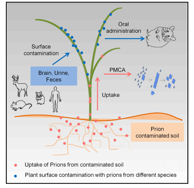 This diagram shows how researchers believe Chronic Wasting Disease can spread through plant material. There still is conroversy whether malformed prions or proteins — or perhaps a bacterium — are the cause of CWD. (Cell Reports)