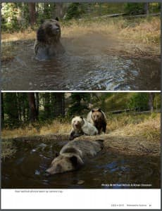 The latest issue of Yellowstone Science includes an entertaining report and camera-trap pictures of a bear bathtub. National Geographic photographer Michael Nichols and Bozeman, Montana shooter Ronan Donovan documented the scene. Biologists discovered the bathtub when searching for a lost radio collar. (Yellowstone Science)