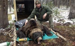 Nathaniel Bowersock, Yellowstone wildlife technician, poses with a grizzly fitted with a critter cam. The latest issue of Yellowstone Science includes an article about the device that shows things about to be eaten. (Yellowstone Science)