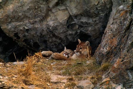 A mountain lion cub rests in its mothers arms in their den one winter morning on the National Elk Refuge near Jackson, Wyo. (Photo by Thomas D. Mangelsen. Courtesy Thomas D. Mangelsen and  www.cougarfund.org)