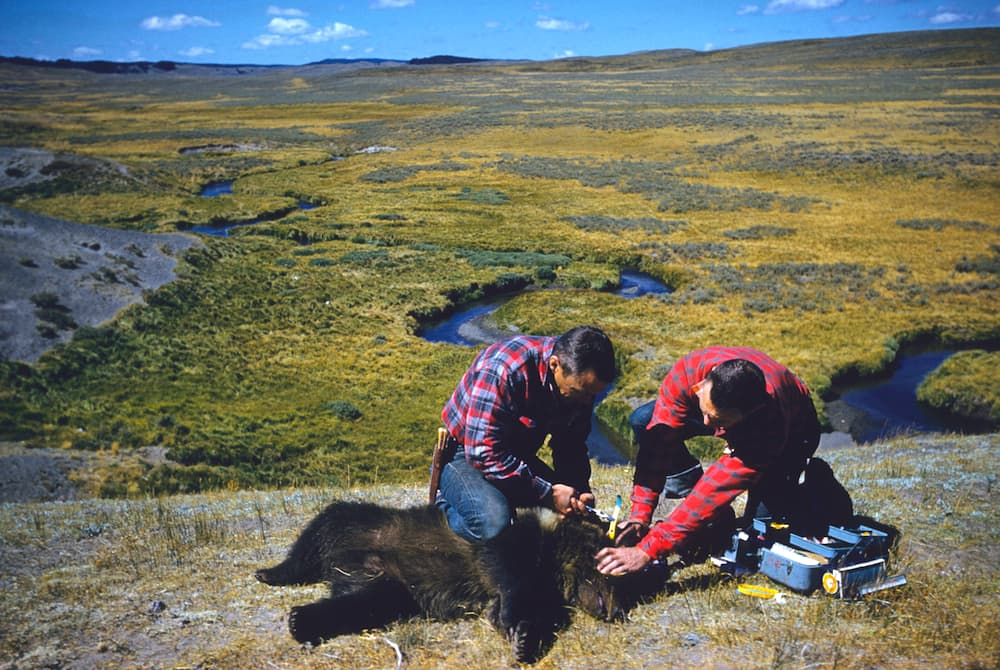 In Yellowstone National Park, Frank and John Craighead work on their pioneering grizzly bear research that first drew attention to the troubled species. There are enough grizzly bears in the Yellowstone ecosystem to remove Endangered Species Act protection, federal scientists believe. (Craighead Institute)
