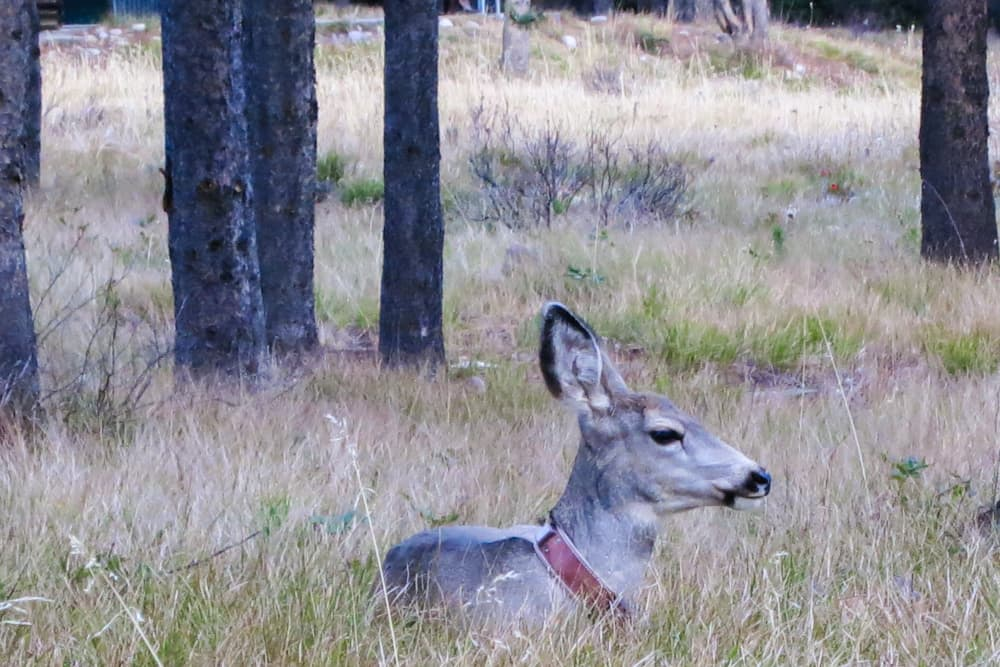 GPS collars, like the one attached to this mule deer doe, can be programed to fall off after a certain amount of time. (Grand Teton National Park)