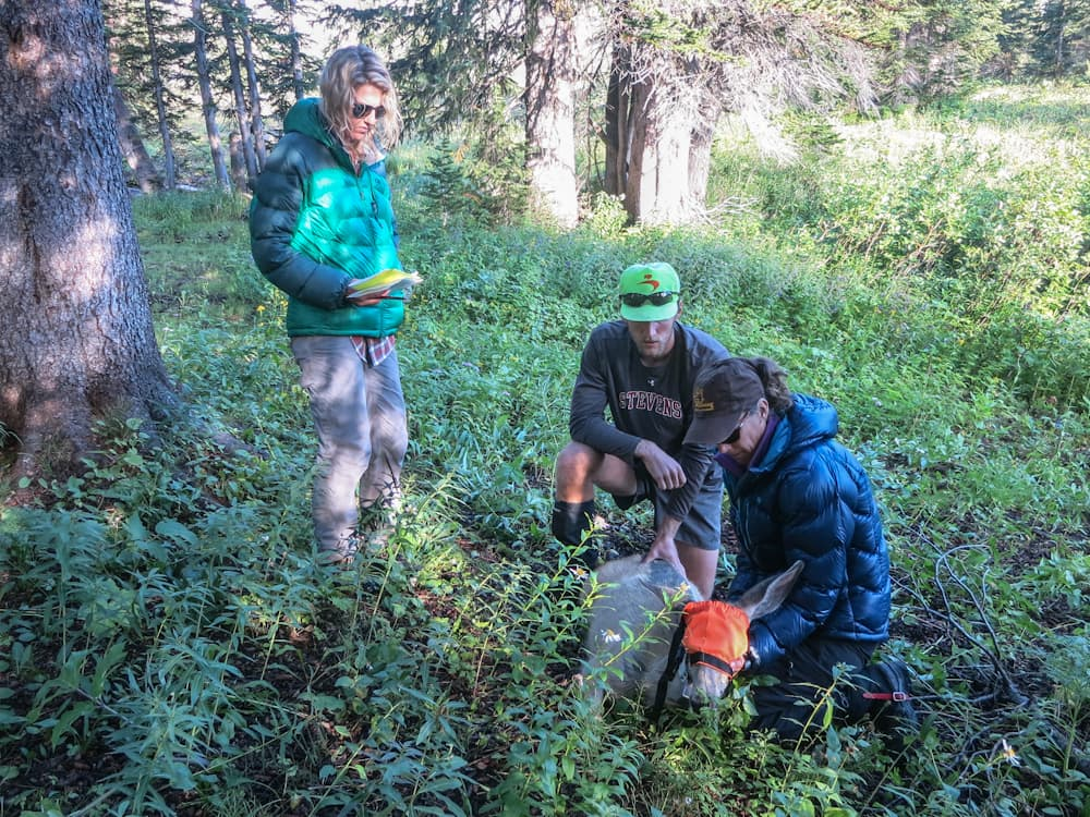 Scientists discover deer migration route in Grand Teton