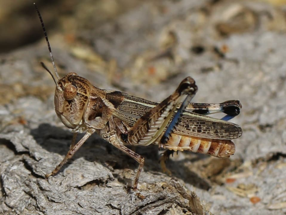 What are the types of locusts?