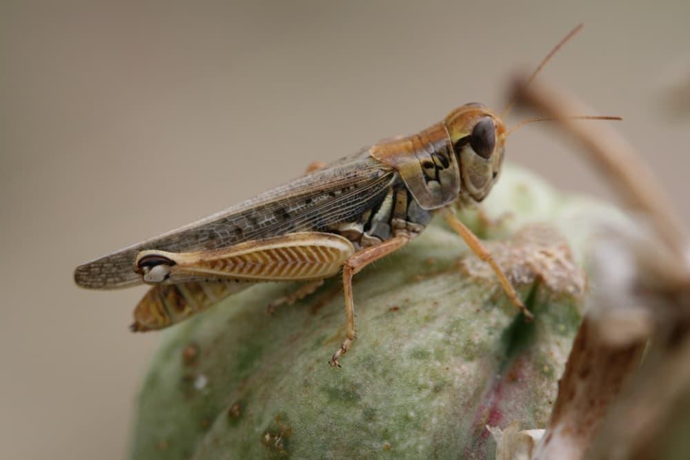 Melanoplus Sanguinipes a.ka. Migratory grasshopper. (Alex Latchininsky)