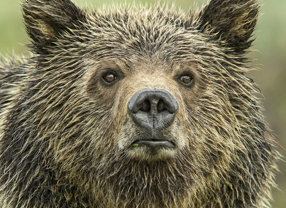 Feds removing protections from Yellowstone grizzlies