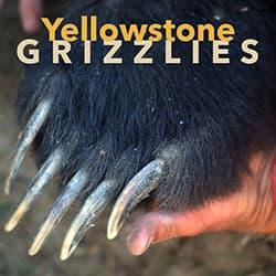 Yellowstone Grizzlies Logo-jpg-250x250-72dpi