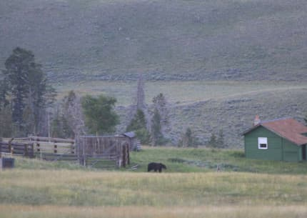 Wyoming Game and Fish and federal wildlife managers say most grizzlies on the fringes of the ecosystem, like this bear at a ranch east of Yellowstone, can't make a living without causing conflicts. Today, bears on more than 2 million acres aren't important to the health of the ecosystem population, pending state plans. (courtesy Wyoming Game and Fish Department)