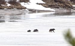 Grizzly bear 610 and her two cubs negotiate thin ice on the Snake River's Oxbow Bend in Grand Teton National Park on Friday, April 22. Wildlife photographer Leine Stikkel captured this video of the family as it  romped around looking for food. (Leine Stikkel)