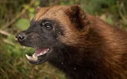 A federal court ruled last week that FWS violated the Endangered Species Act when it declined to protect the wolverine. (Barney Moss / Flickr Creative Commons)