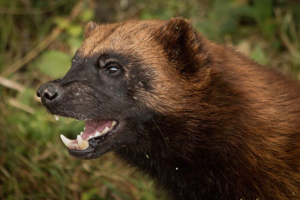'Immense political pressure' sank wolverine listing — judge