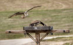 Teton Raptor Center volunteer Sue Ernisse photographed an osprey trying to dislodge a Canada goose from an osprey nesting platform in Jackson Hole. The Raptor Center is building nest platforms that can be tilted when geese are nesting. When osprey arrive a few weeks later, the platforms are lowered to the horizontal position, offering an alternative nest site to nearby power poles. (courtesy Sue Ernisse)