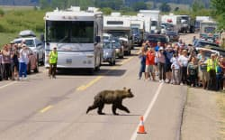 Visitors to Yellowstone and Grand Teton national parks expect to see bears, like these tourists being held back by a member of the bear brigade in Grand Teton. But Yellowstone's superintendent fears plans, which could allow hunting, might change that draw and lead to fewer sightings. (National Park Service)