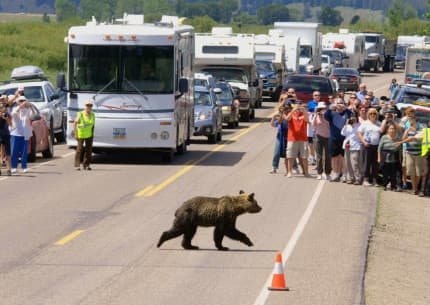 "In Grand Teton National Park, tourist watch a young grizzly cross a highway, such a common sight the agency has enlisted a ""bear brigade"" to keep exuberant visitors in line. A study says roadside bears in Yellowstone bring more than $10 million annually to the regional economy. Fully 99 percent of Yellowstone visitors expect to see a bear. (National Park Service)"