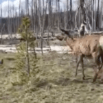 Yellowstone elk charges woman