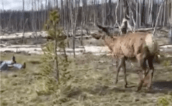 Wildlife guide Jody Tibbitts added to the collection of bizarre human behavior caught on tape in Yellowstone National Park this year when he witnessed a cow elk butt a woman who got too close. (Manny Perez/Jackson Hole Wildlife Safaris)
