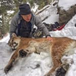 Yellowstone cougars quietly thriving