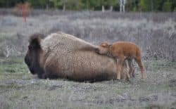 A bison mother lets its calf rub against its back in this photograph taken by Stephany Seay of Buffalo Field Campaign. Bison give birth in April and May and calves can keep up with the herd within 2 to 3 hours of birth (Stephany Seay/Buffalo Field Campaign)