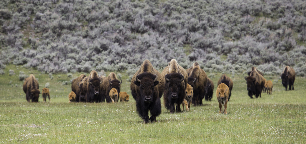 Can science and education save Yellowstone visitors from themselves?
