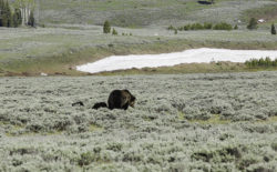 Grizzly bears are among the species currently protected by the Endangered Species Act that present challenges for western governors. The Western Governors' Association has proposed a sweeping overhaul of the ESA. (Photo by Patrick Newell)