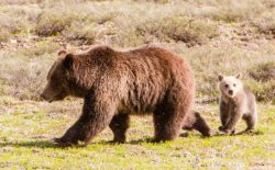 Grizzly 399, said to be the most famous grizzly in the world, is seen with her 2016 cub of the year on the morning they were first reported in Grand Teton National Park after emerging from their den. The cub was killed in a hit-and-run collision June 19. (c Leine Stikkel)