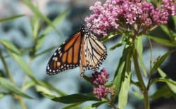 Monarch butterflies have suffered from habitat loss in Mexico where they winter, and also along their migration route to Canada. (Photo by Dorothy Tuthill)