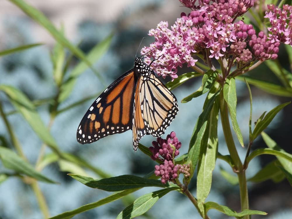 Biologists want Wyomingites to report monarch butterfly sightings