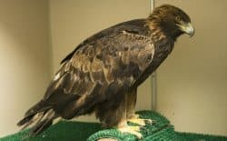 A golden eagle suffering from lead poisoning was brought to the Teton Raptor Center through a new statewide volunteer program to transport injured birds. The center set up the program with the help of federal funding. The eagle is expected to make a full recovery.  (Steve Poole).